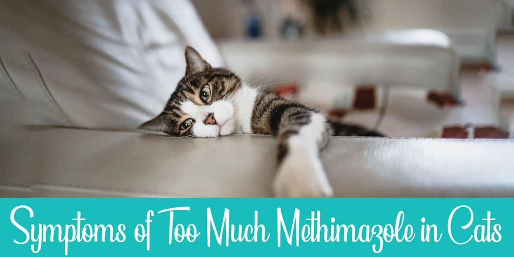 Symptoms of Too Much Methimazole in Cats