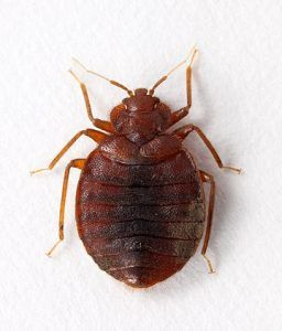 How Do Baby Bed Bugs Look Like